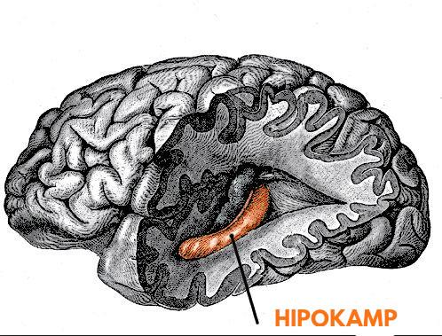 hipokamp wikipedia